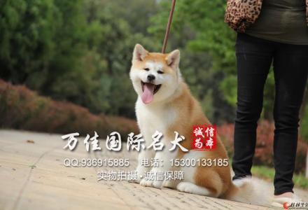 北京哪里出售纯种秋田犬