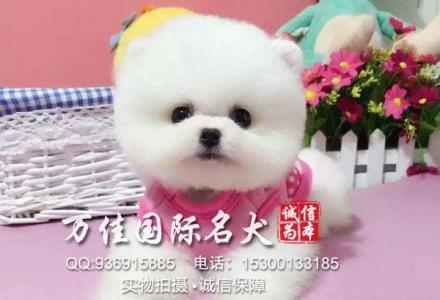 秦皇岛纯种博美犬多少钱一只