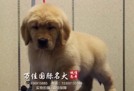 邯郸纯种金毛犬多少钱一只