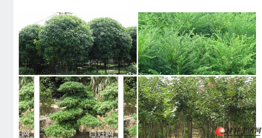 大量桂花树,红豆杉出售