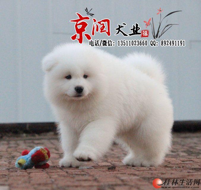 北京哪里出售纯种萨摩耶