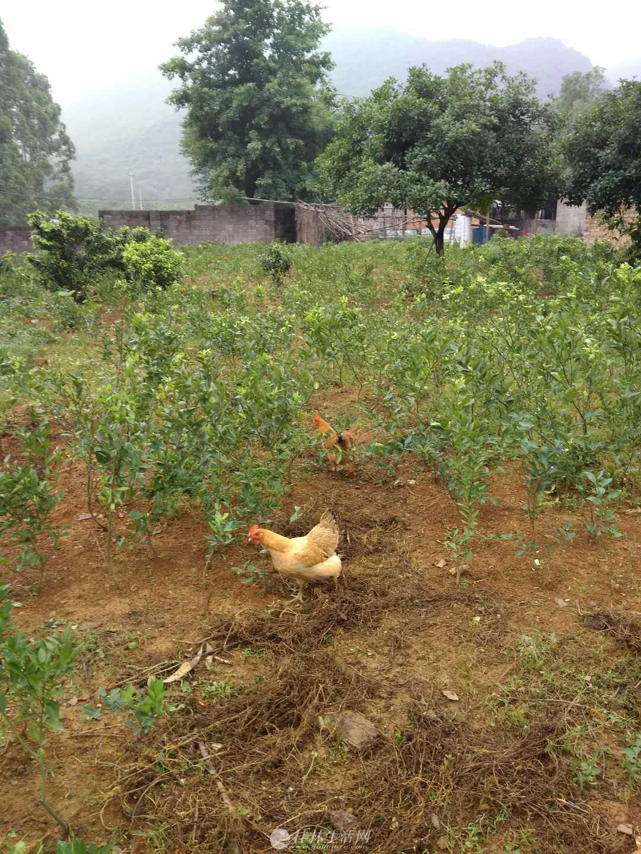 土鸡土鸡 吃谷子,吃虫子放养的 土鸡  就卖五十只。40一斤 桂林送货上门