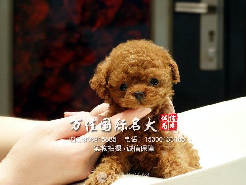 韩国纯种杯体泰迪幼犬多只可选 疫苗驱虫已做 签订协议