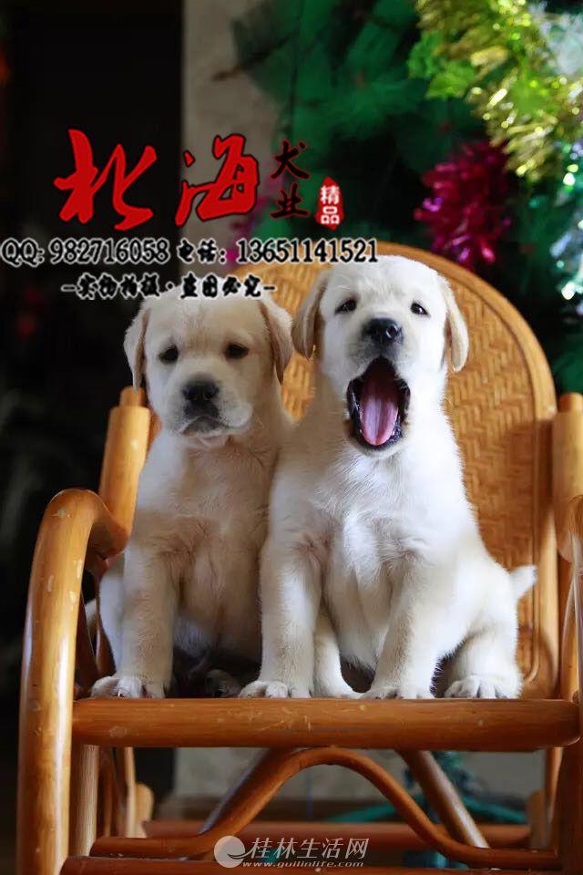 重庆纯种拉布拉多犬价格