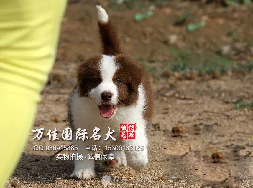 出售纯种大骨架智商高边境牧羊犬出售质保健康
