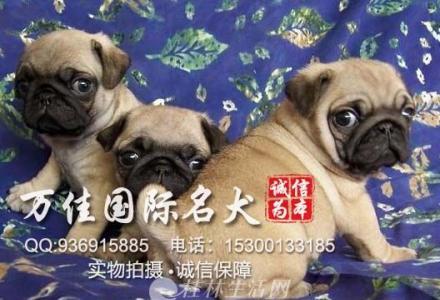 出售纯种大骨架鹰版新版巴哥犬出售质保健康
