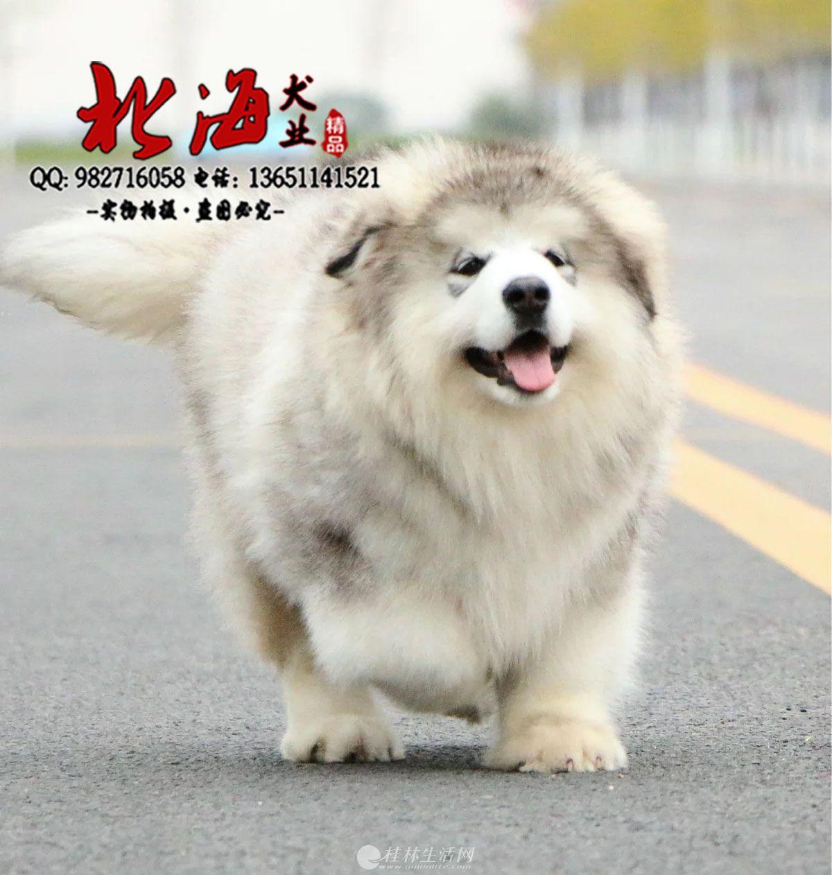 西安纯种阿拉斯加幼犬价格