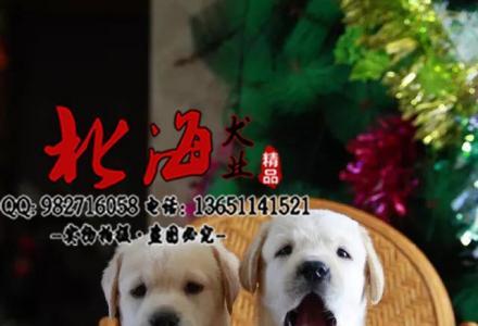 西安纯种拉布拉多犬价格