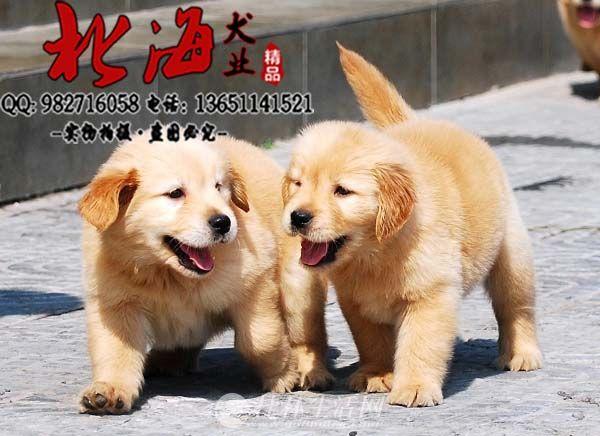 广东深圳纯种金毛犬价格