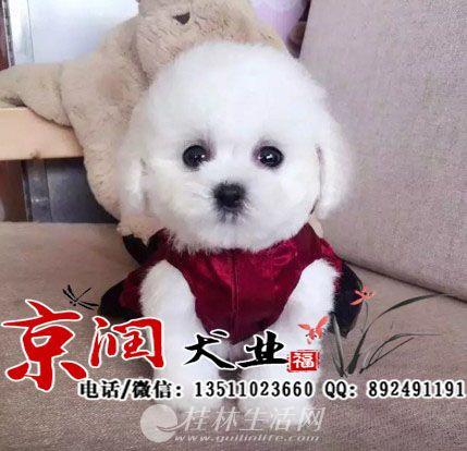 上海比熊犬多少钱一只