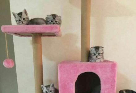 家养英短折耳猫猫求主人带走