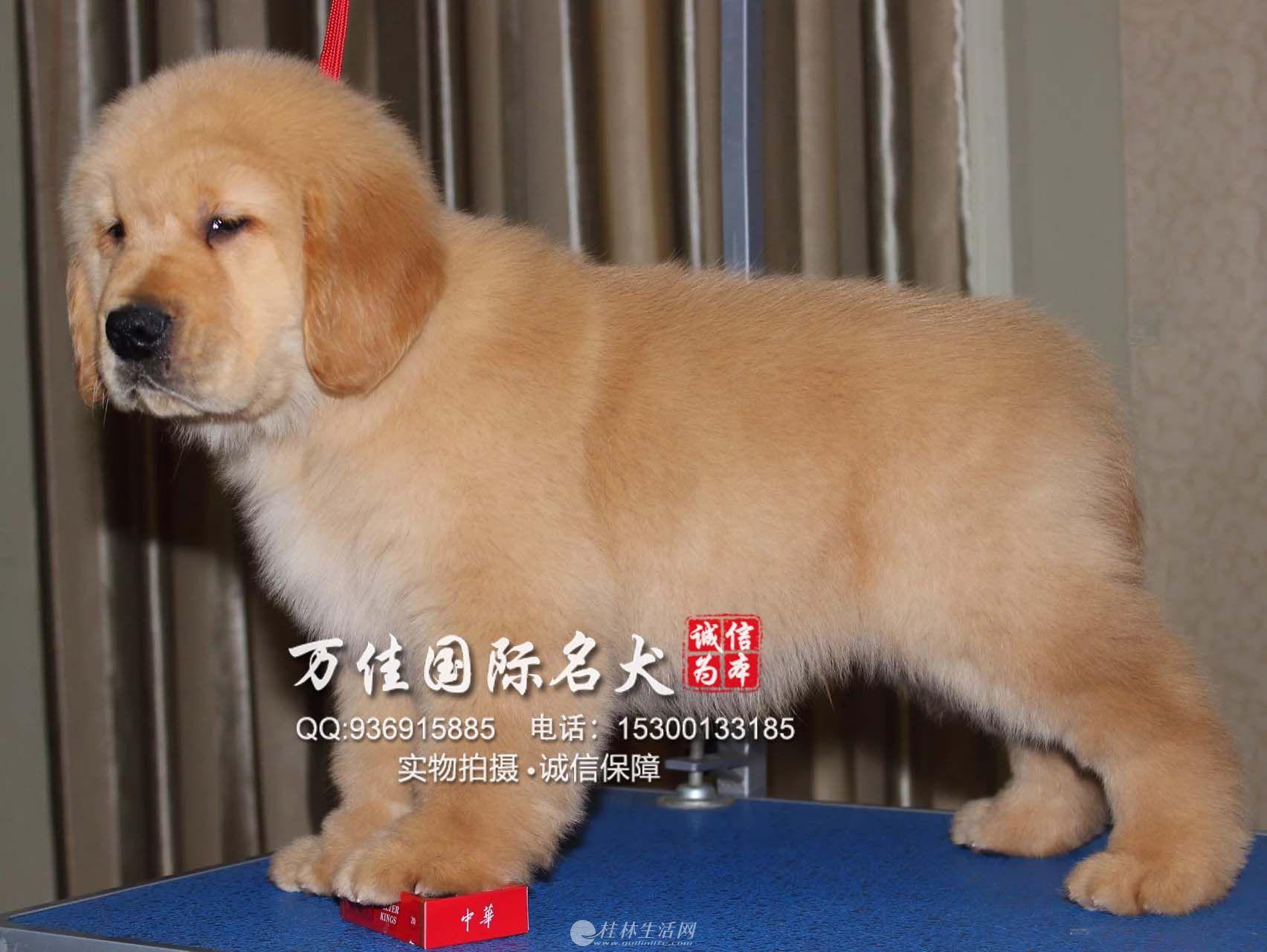 保定纯种金毛犬多少钱一只