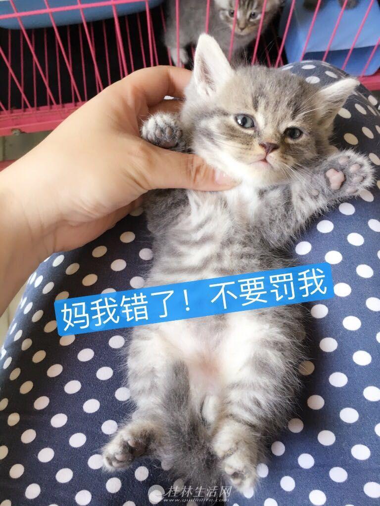 一口价全款售家养英短圆脸折耳立立耳弟弟妹妹虎斑蓝猫宠物猫6只 幼猫6月8日去新家