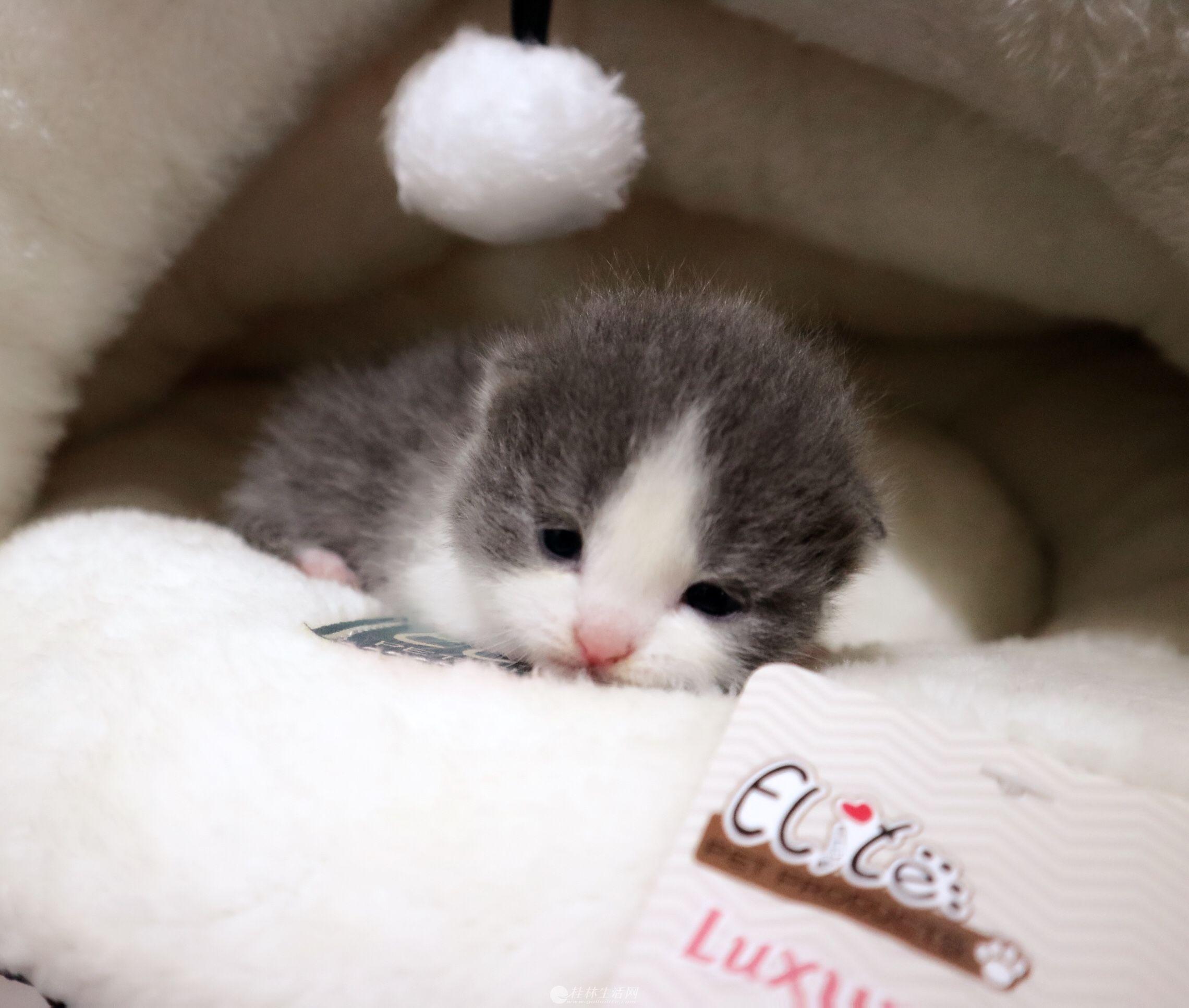 宠物猫幼猫英短毛猫蓝猫蓝白猫精品正八家养出售英国短毛猫 6月21号可以去新家