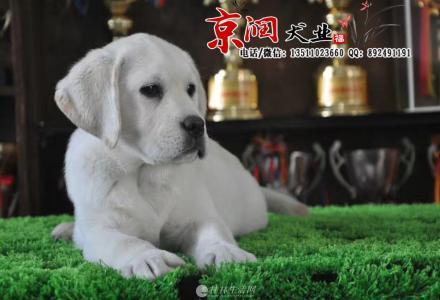 北京哪里出售纯种拉布拉多