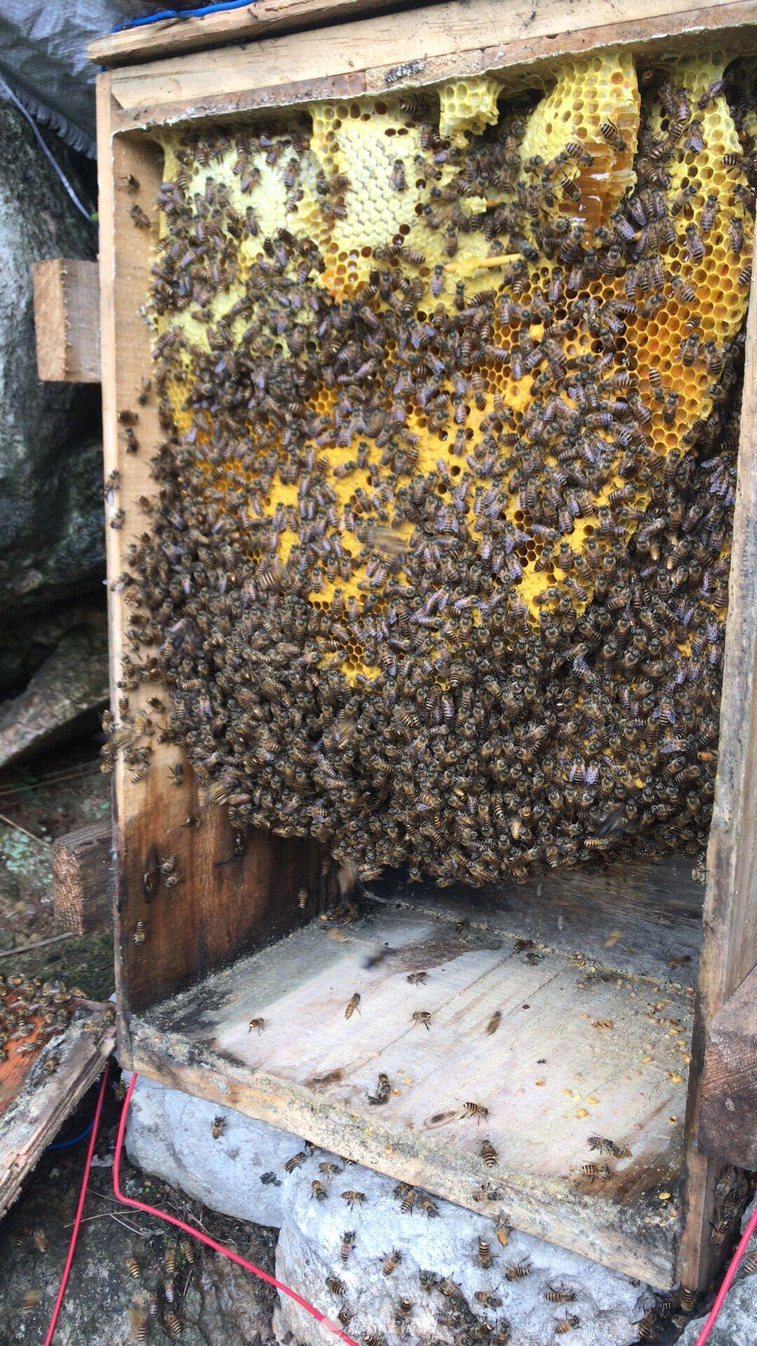 出售中华蜜蜂,野生蜂蜜