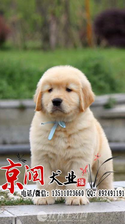 北京哪里出售纯种金毛