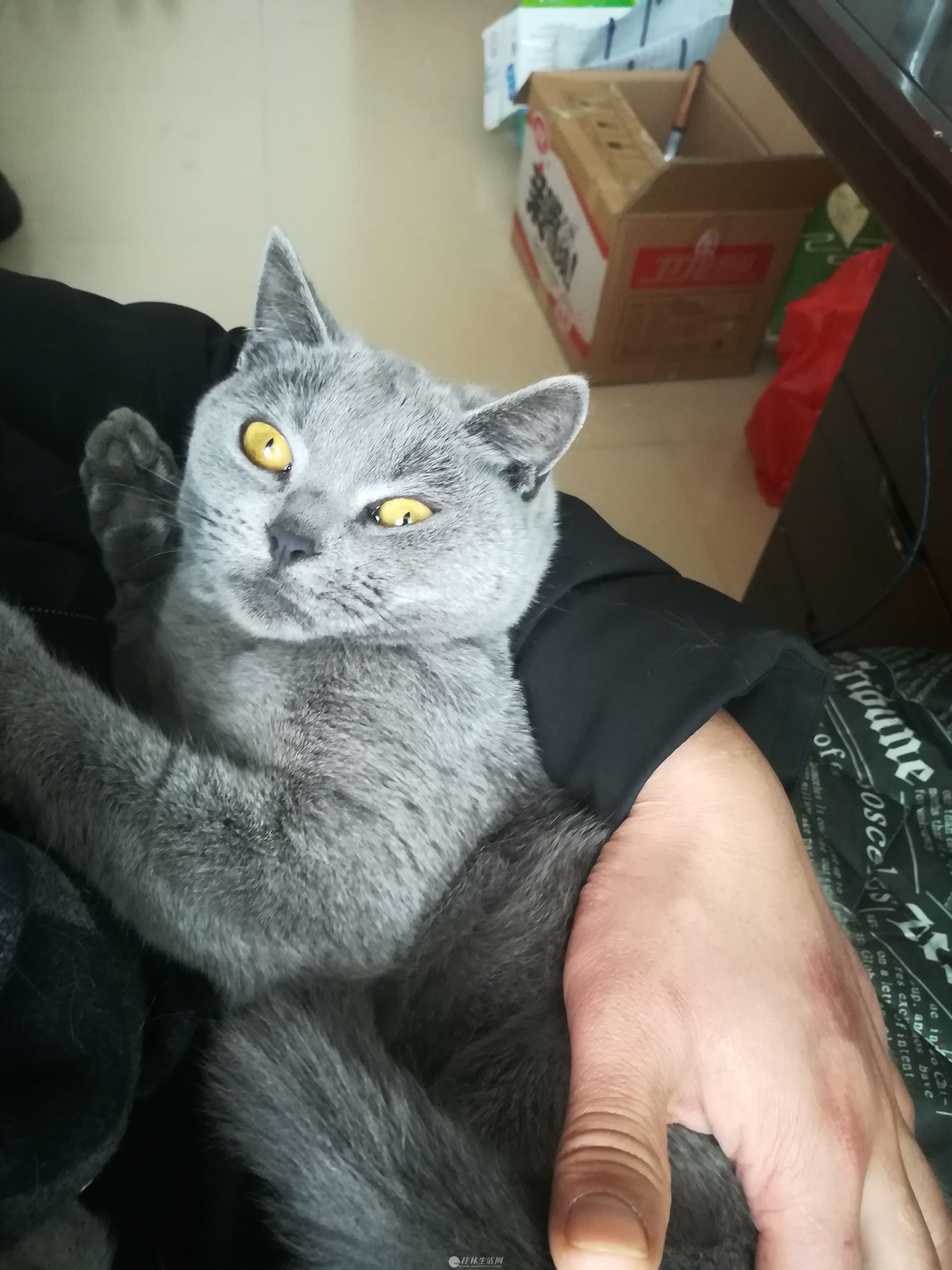 漂亮蓝猫妹妹找男盆友