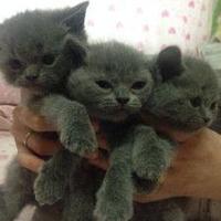 英短蓝猫幼崽出售18778395442刘姐