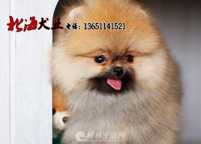 北京哪里卖纯博美犬多少钱一只