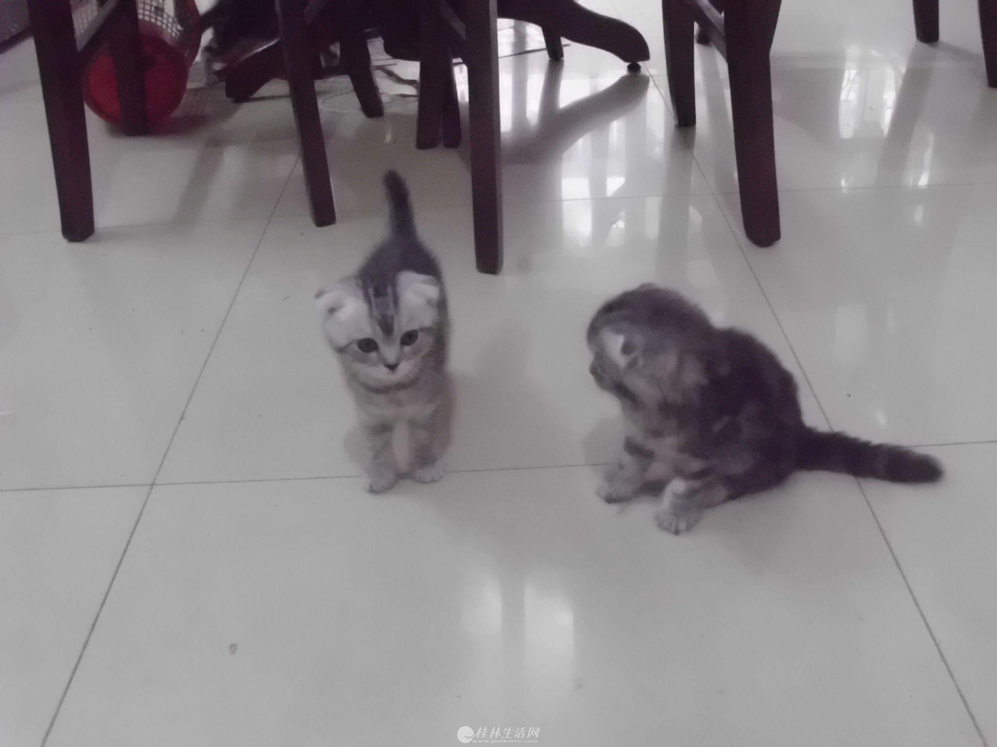 喜欢小猫的看一看,卖两个月大小猫啦!