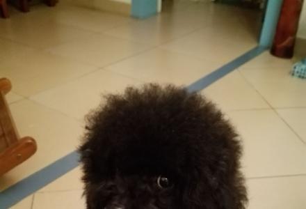 自养玩具体贵宾犬求领养