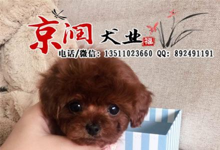 天津哪里卖纯种泰迪幼犬