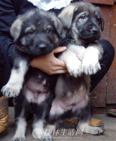 桂林昆明犬哪里有卖桂林什么地方出售纯种昆明犬
