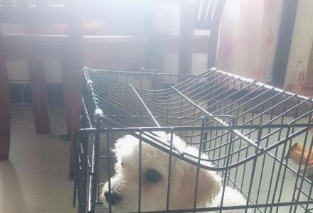 纯白贵宾狗6个月大公狗