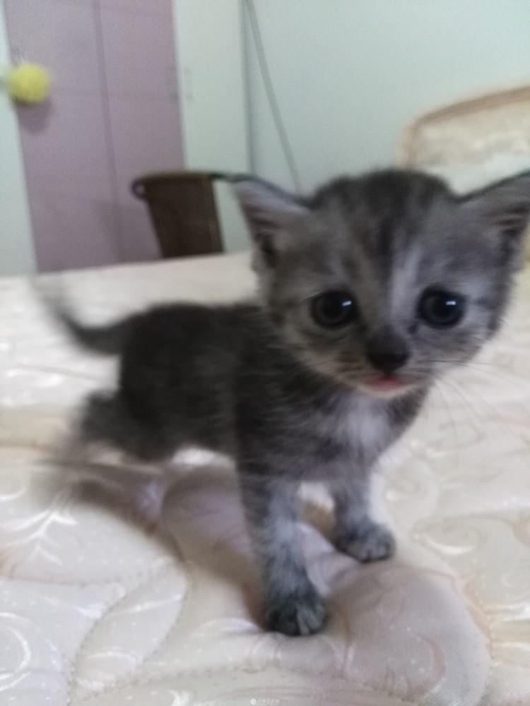 出售超可爱英短渐层小猫