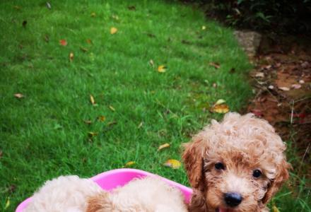 自家狗狗生的小贵宾,2个月大,还有两个母的,找主人啦