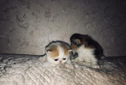 家养4月16出生的小加菲猫宝宝出售啦