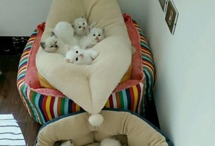 出售家庭猫舍自己养的布偶猫