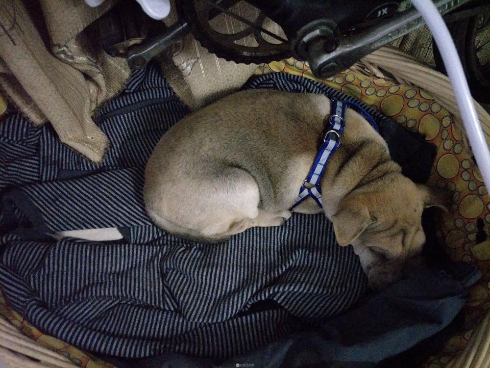 朋友家领回的纯种沙发狗