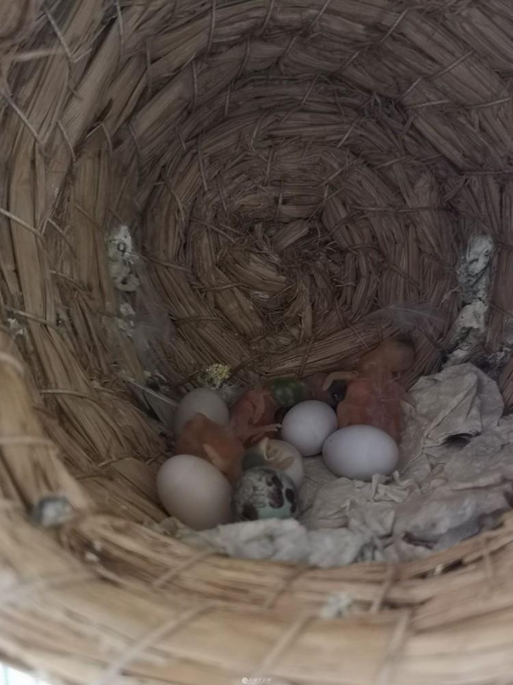 出售自养十姐妹鸟,幼鸟刚出壳几天,可以手养成手玩!