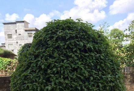 出售1颗自己培养了25年的榕树