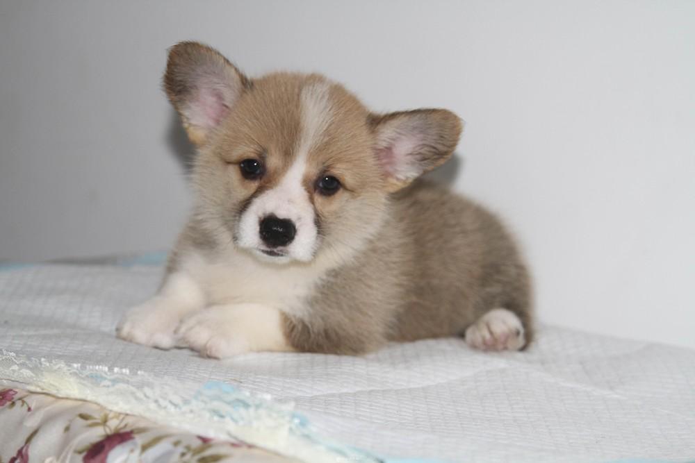 可爱的双色小短腿柯基狗