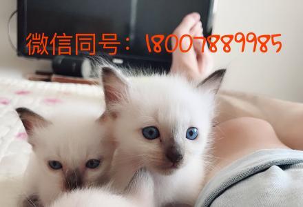 低价急售自养蓝眼睛纯种暹罗小猫咪 公母都有 1个半月