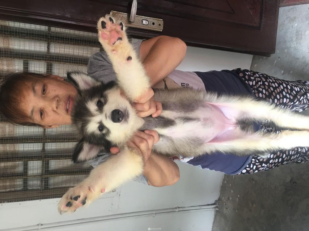 纯种阿拉斯加巨型犬幼崽出售