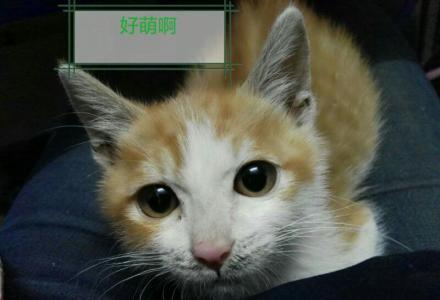快一岁的中华田园小橘猫无时间打理,只要20元求带走