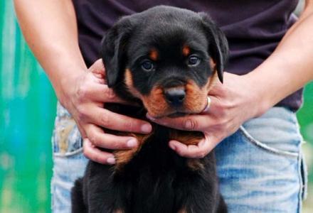 德系罗威纳幼犬 高大威猛四肢粗壮品相好疫苗已做