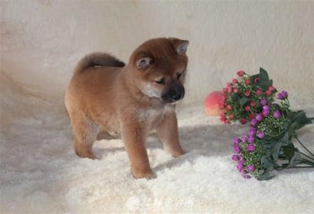 日系柴犬幼犬出售 纯种柴犬价格 京博犬舍