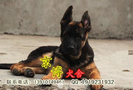 北京哪里出售纯种德牧 锤系德牧幼犬价格