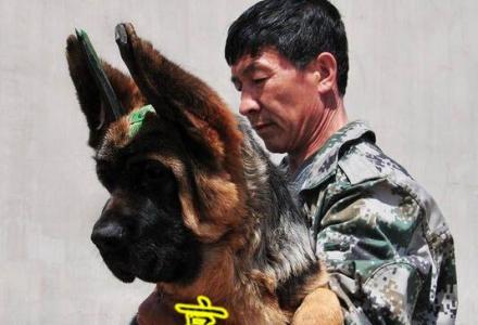 北京哪里卖锤系德牧 纯种德牧幼犬价格 京博犬舍