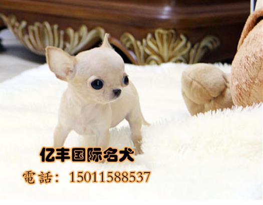 出售纯种吉娃娃多少钱 赛级吉娃娃价格 保纯种保健康