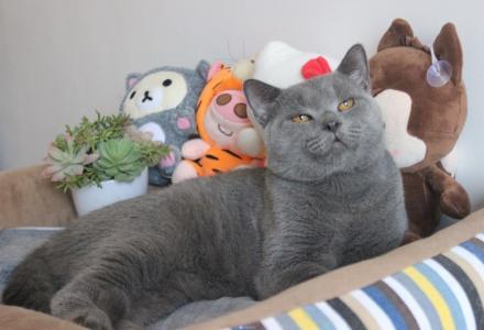 自家蓝猫种公对外借配