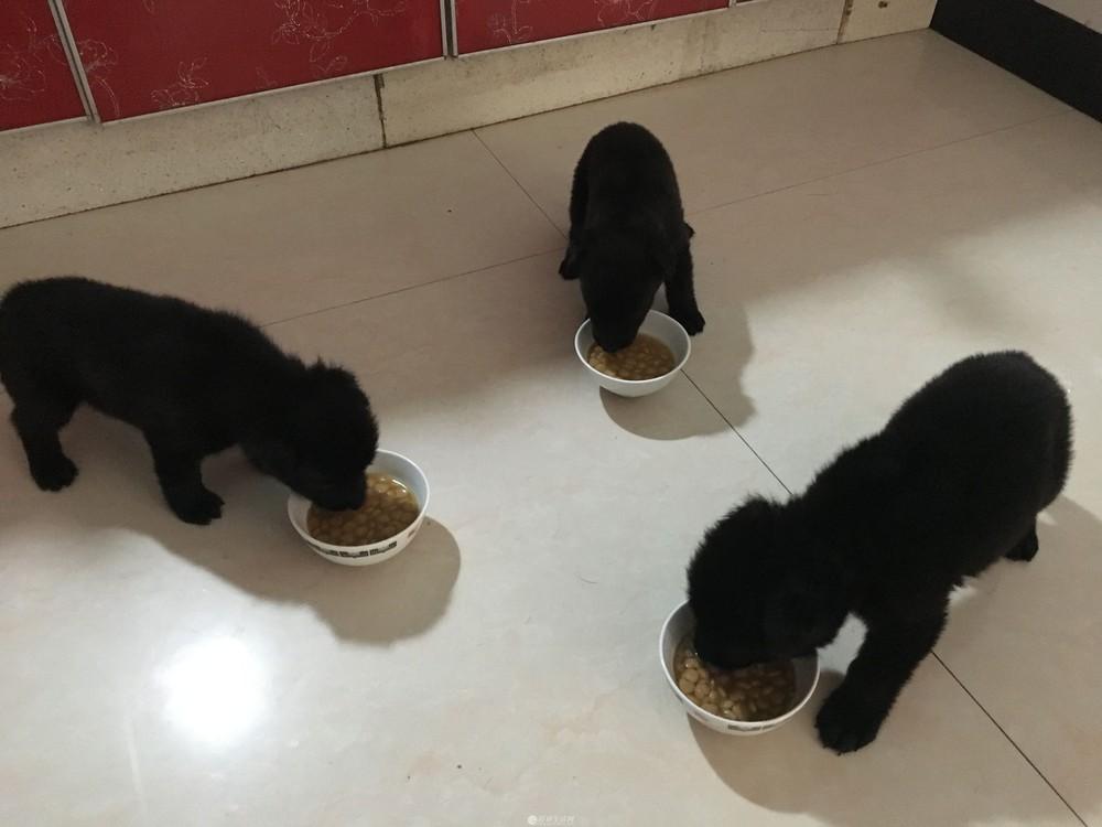 桂林本地自家繁殖,纯黑东德牧羊犬小狗出售,公母都有