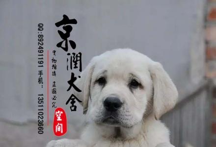 北京哪里卖纯种拉布拉多