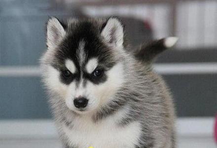 纯种哈士奇幼犬出售 赛级哈士奇价格 京博犬舍