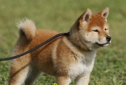 纯种柴犬幼犬多少钱 赛级柴犬哪里卖 京博犬舍